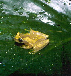 Dendropsophus ebraccatus.jpg