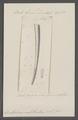 Dentalium substriatum - - Print - Iconographia Zoologica - Special Collections University of Amsterdam - UBAINV0274 081 10 0015.tif