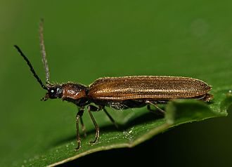 """Click beetle - Lateral aspect of a typical member of the Elateridae. Just below the base of the wings the """"clicking"""" apparatus is visible in silhouette, with the """"peg"""" or """"process"""" in contact with the raised slot or """"cavity"""" into which it slips to force the impact when required"""