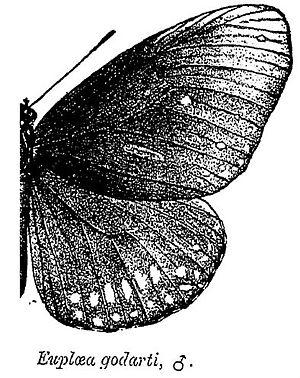 Euploea core - E. godarti