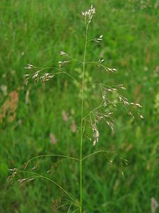 Deschampsia cespitosa.jpeg