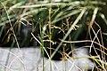 Deschampsia cespitosa Bronzeschleier 1zz.jpg