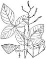 Desmodium laevigatum BB-1913.png