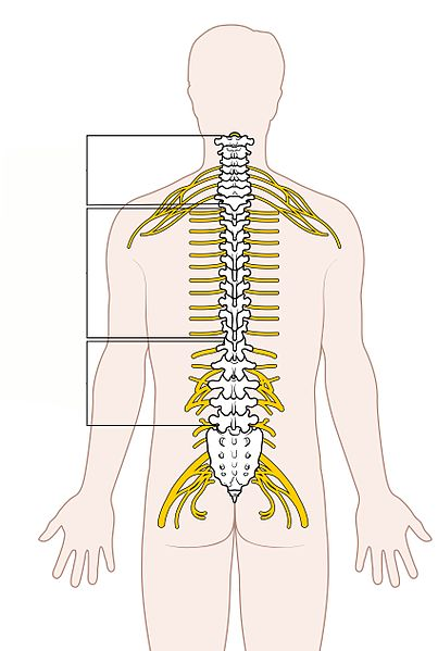 File:Diagram of the Spinal Cord Unlabeled.jpg