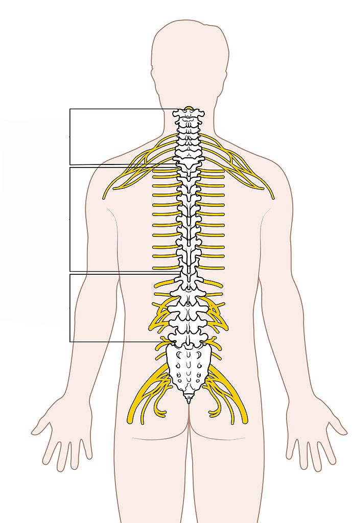 Filediagram Of The Spinal Cord Unlabeledg Wikimedia Commons
