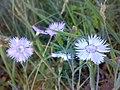 Dianthus arenarius.jpg
