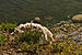 Dianthus arenarius arenarius - nõmmnelk Pakri2.jpg