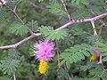 Dichrostachys cinerea (L.) Wight ^ Arn - Flickr - lalithamba.jpg