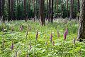 Digitalis purpurea - Purple Foxglove - Roter Fingerhut - Hesse - Germany - 33.jpg