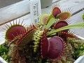 Dionaea Muscipula.jpg