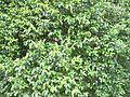 Diospyros whyteana - foliage 5.JPG