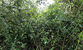 Dog Rose Woodland Trust wood Theydon Bois Essex England 02.JPG