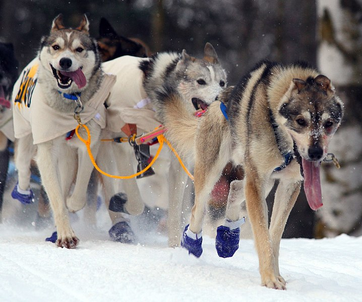 File:Dogs from the first dog sled breaking trail (4425886565).jpg