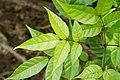 Dolichandrone spathacea 5508.jpg