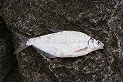Donaubrasem 4-22-2009 12-36-06 AM