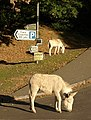 Donkeys at Burley - geograph.org.uk - 1545345.jpg