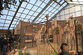 Dortmund - Zoo - Giraffa camelopardalis angolensis 02 ies.jpg