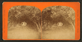Dr. Ball's orange grove, from Robert N. Dennis collection of stereoscopic views.png