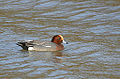 Drake Widgeon (11605999483).jpg