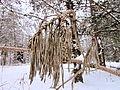 Dried pine.jpg