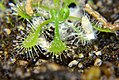 Drosera Microhabitat (12130295343).jpg