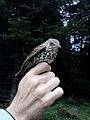 Drozd pevač (Turdus philomelos) Song Thrush.jpg