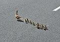 Duck & Duckling's crossing the road (15367868697).jpg