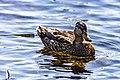 Duck (43482893494).jpg