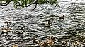Ducks (39052548621).jpg