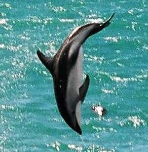 Kaikoura - A dusky dolphin leaping near a Kaikōura beach