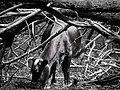 Dwarf Cow in Kano.jpg