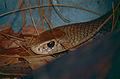 Eastern Brown Snake (Pseudonaja textilis) (10106973264).jpg