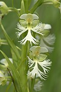 Eastern Prairie White Fringed Orchid (Platanthera leucophaea) (14806074713).jpg