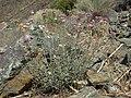 Eastern Sierra pennyroyal, Monardella linoides ssp. sierrae (15756408994).jpg