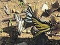 Eastern Tiger Swallowtail and Zebra Swallowtail - Flickr - GregTheBusker.jpg