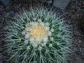 Echinocactus grusonii 2016-05-31 1776.jpg