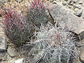 Echinocactus horizonthalonius and Thelocactus bicolor (5672084674).jpg
