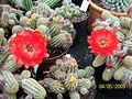 Echinopsis chamaecereus (Peanut Cactus) (3563833431).jpg