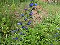 Echium vulgare 001.jpg