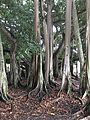 Edison Banyan tree.JPG