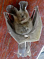 Egyptian Slit-faced Bat (Nycteris thebaica) found dead ... (17106089827).jpg