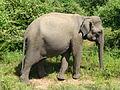 Eléphant-Uda Walawe National Park (1).JPG
