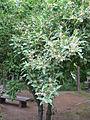 Elaeagnus umbellata2.jpg