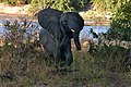Elephant, Ruaha National Park (33) (28724966755).jpg