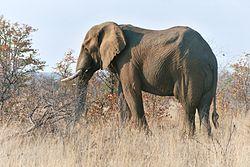 Elefanto en Nacia Parko Kruger (Sudafriko)