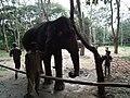 Elephant from Bannerghatta National Park 8688.JPG