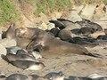 File:Elephant seals mating p1080218.ogv