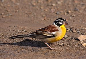 Golden-breasted bunting - In Hluhluwe-Umfolozi Game Reserve, South Africa