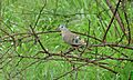 Emerald-spotted Wood-Dove (Turtur chalcospilos) (5997859692).jpg