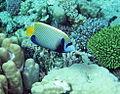 Emperor Angelfish, Pomacanthus imperator at Gota Abu Ramada, Red Sea, Egypt -SCUBA (6175900690).jpg